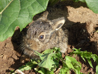 Yummie! - Hare eats a bunch of Silphium