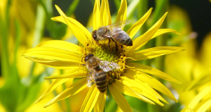 Bees on silphium